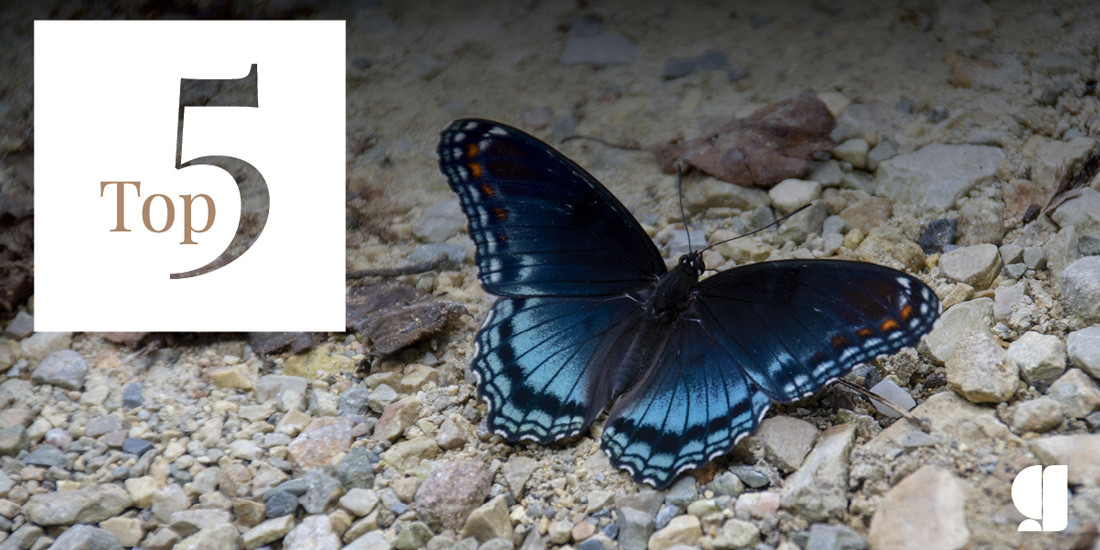 Kristi's 5 favorite butterflys - red-spotted purple butterfly